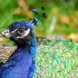 Stock Photo: Indian Peafowl (Pavo cristatus)