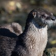 Stock Photo: Northern River Otter (Lontra canadensis)