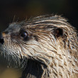 Northern River Otter (Lontra canadensis) — Stock Photo #3547020