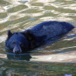 Stock Photo: Balck Bear swimming