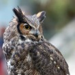 Spotted Eagle Owl (Bubo africanus) — Stock Photo #3547164