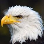 American Bald Eagle (Haliaeetus leucocephalus) — Stock Photo