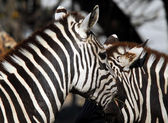 Plains Zebra (Equus quagga) — Stock Photo