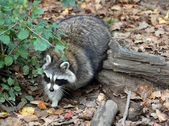 Raccoon (Procyon lotor) — Stock Photo