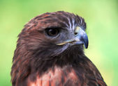 Goshawk (Accipiter gentilis) — Stock Photo