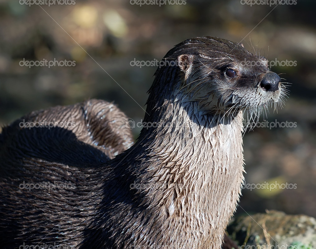 Close-up portrait of a wet Northern River Otter — Stock Photo #3547018