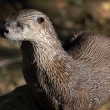 Northern River Otter (Lontra canadensis) — Stock Photo #3767724