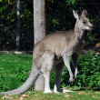 Stock Photo: Eastern Grey Kangaroo (Macropus giganteus)