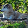 Gray wolf (Canis lupus) — Stock Photo #3767799