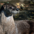 Northern River Otter (Lontra canadensis) — Stock Photo #3767907