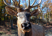 Elk (Cervus canadensis) in autumn — Stock Photo
