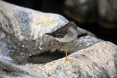 Lesser Yellowlegs (Tringa Flavipes) — Stock Photo