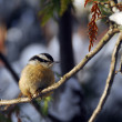 Red-Breasted Nuthatch — Stock Photo
