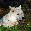 Arctic wolf — Stock Photo #3895520