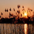 Stock Photo: Reed landscape