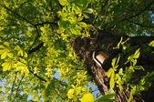 Chestnut tree — Stock Photo