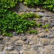 Ivy at a wall — Stock Photo