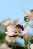 Bee and blackberry — Stock Photo