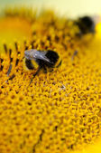 Bees and sunflower — Stock Photo