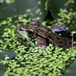 Stock Photo: Floating Bullfrog