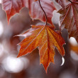 Back Lit Red Maple Leaf — Stock Photo