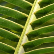 Palm Leaf Stem — Stock Photo