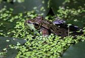 Floating Bullfrog — Stock Photo