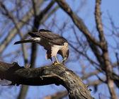 Feeding Cooper's Hawk — Stock Photo