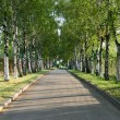 Pretty birch tree alley on a summer day — Stock Photo