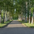 Pretty birch tree alley on a summer day — Stock Photo #3712685