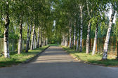 Pretty birch tree alley on a summer day — Photo