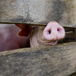 Stock Photo: Close-up of pig snout