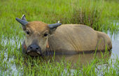 Young water buffalo out in the nature — Stok fotoğraf