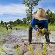 Father and son growing rice — Stock Photo