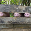 Stock Photo: Close-up of three pig snouts