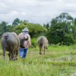 Stock Photo: Asian farmer with water buffaloes
