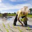 Asian rice farmer — Stock Photo