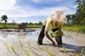 Asian rice farmer — Stock Photo