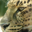 Stock Photo: Leopard 03