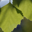 Stock Photo: Birch 02