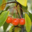 Stock Photo: Cherry 3
