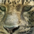Stock Photo: Leopard 02