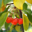 Stock Photo: Cherry 4