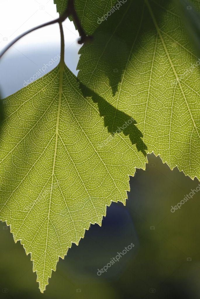 白桦树叶– 图库图片
