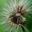 Dandelion 5 — Stock Photo #2818573
