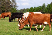 Cows in a field — Stock Photo