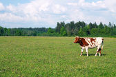Cow on the Field — Stock Photo