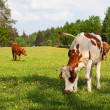 Brown  white cow , bovine — Foto de Stock