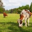 vaca marrón blanco, bovina — Foto de Stock