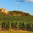 Tuscany, vineyard on hill. - Stock Photo